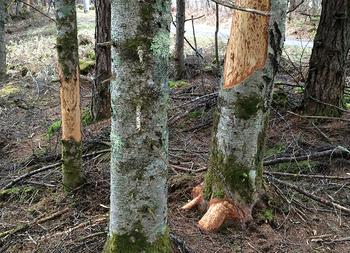 モミの木2a.jpg