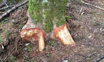 モミの木1a.jpg